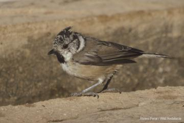 crested tit in ronda andalucia Spain
