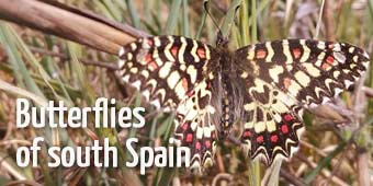 Spanish festoon in Spain