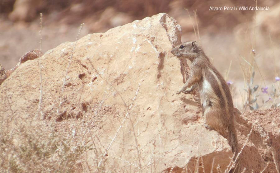 a barbary ground squirrel near Ouarzazate