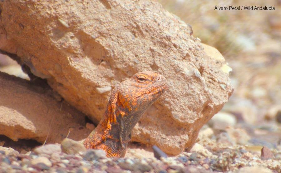Watching Moroccan Spiny-tailed Lizard