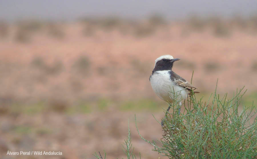 Red-rumped Wheatear in Tagdilt