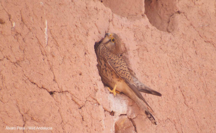 Kestrel Ouarzazate