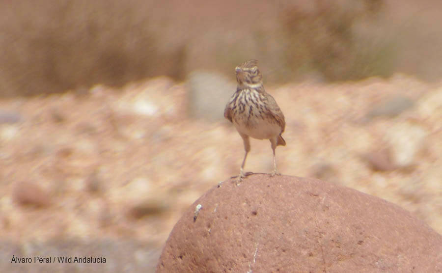 Crested Lark Morocco