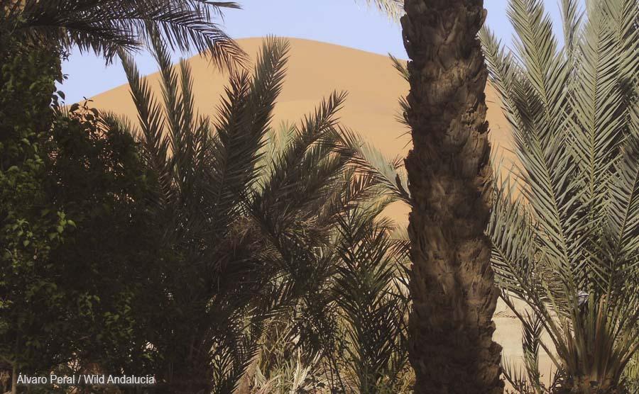 The great Dune near Merzouga