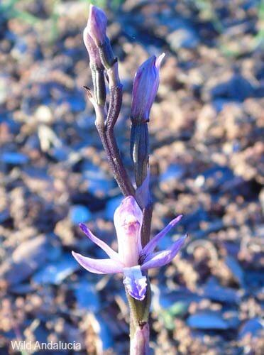 Limodorum abortivum trabutianum