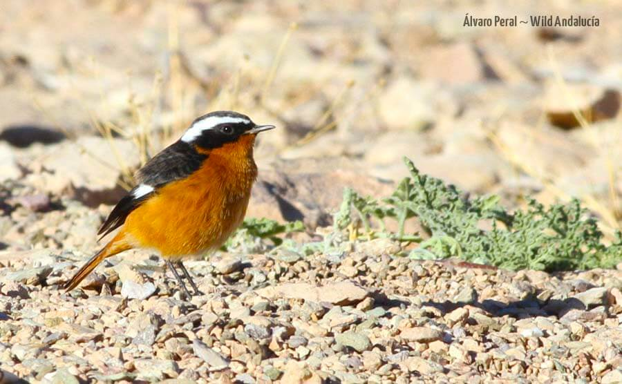 Male of Moussier Redstart in Morocco