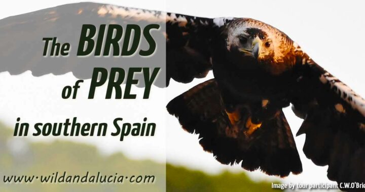 Eagles in Andalucia