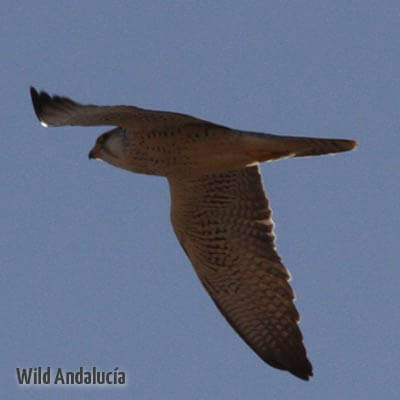 Barbary falcon lookinf for prey