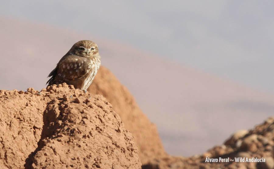 Little Owl in Morocco
