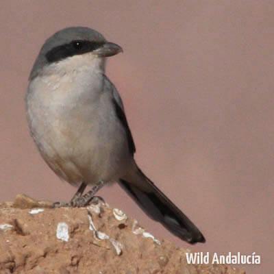 Great grey shrike in Morocco