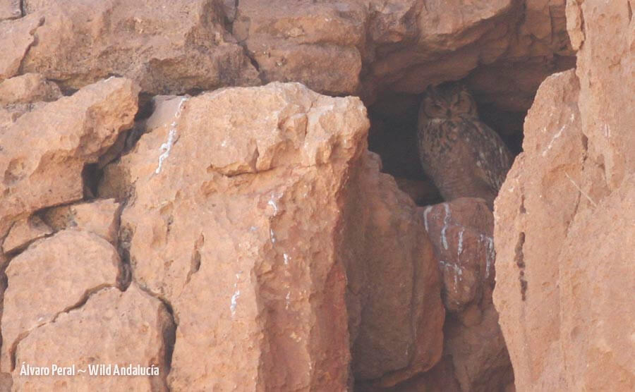 Pharaoh eagle owl in its cave