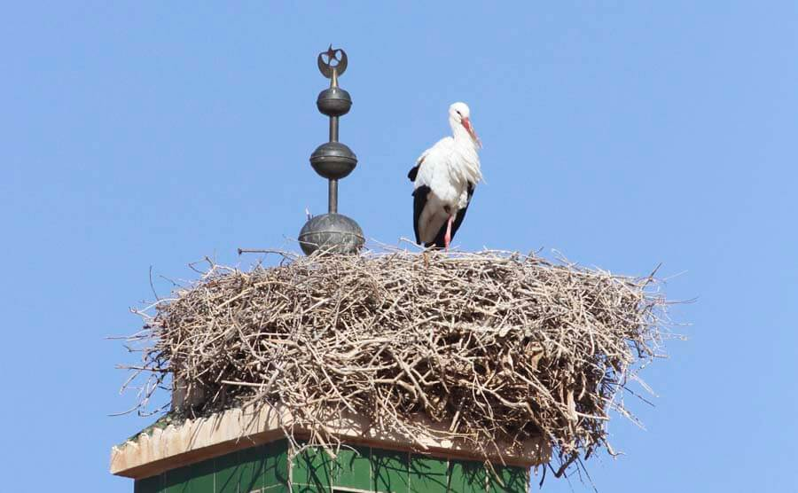 storks in north Africa