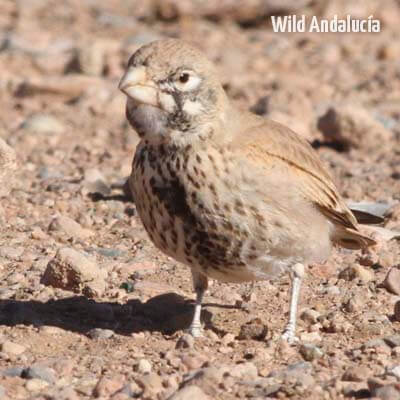 thick billed lark in Morocco