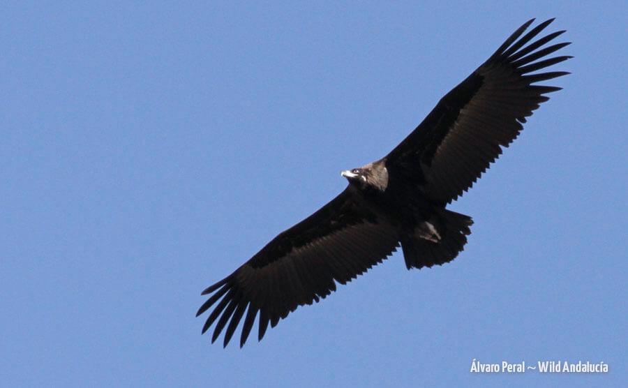 watching black vulture spain