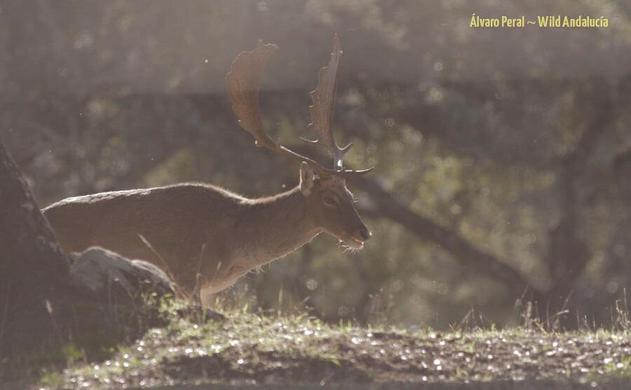 male fallow deer in andujar