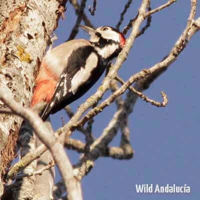 woodpecker watching spain
