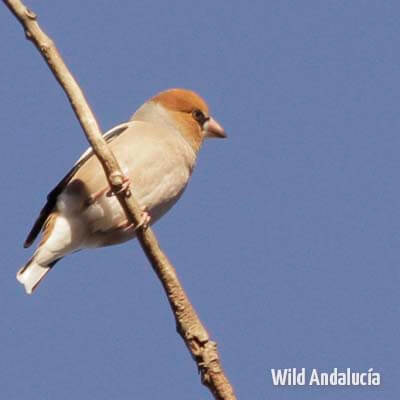 hawfinch southern spain