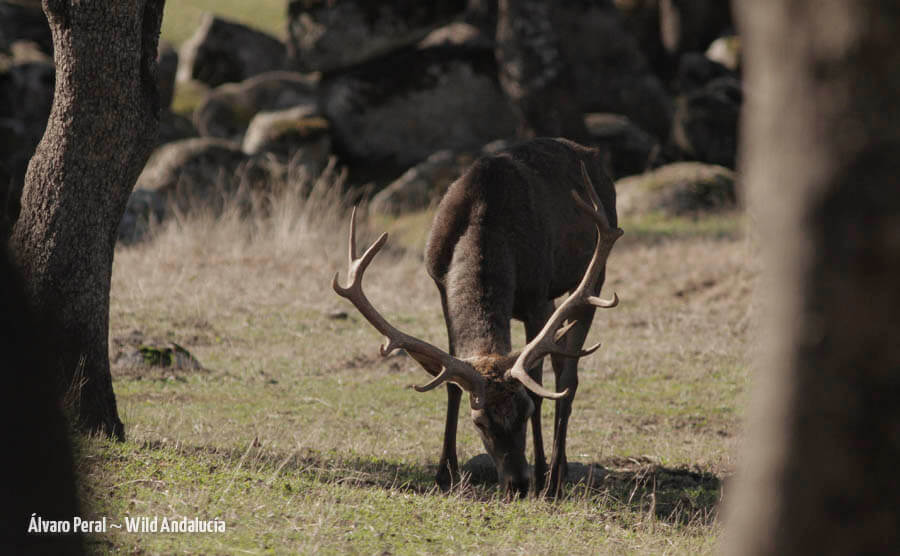 male red deer in andalucia
