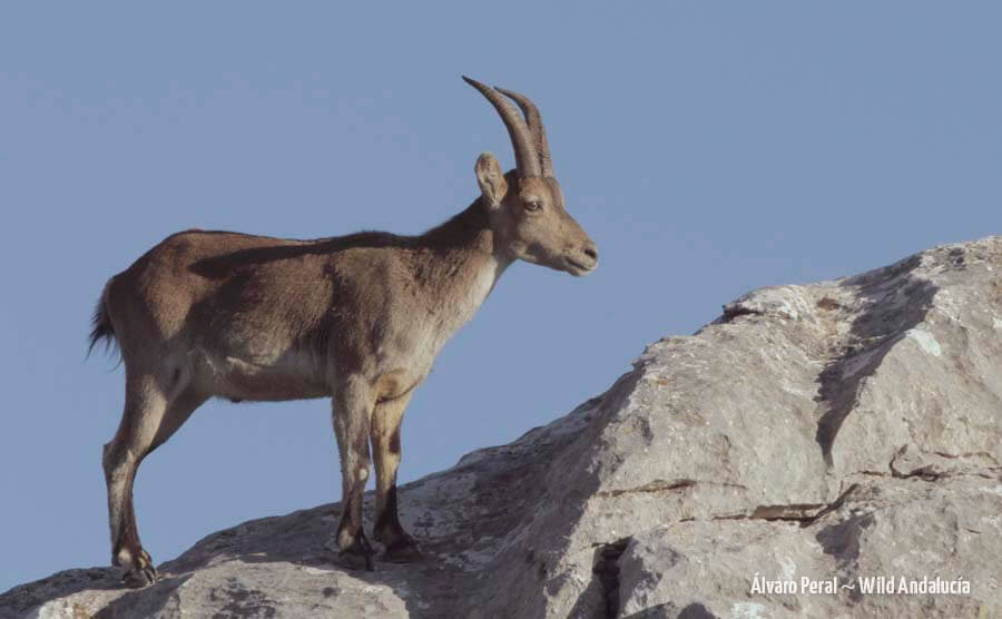 spanish ibex southern subspecies
