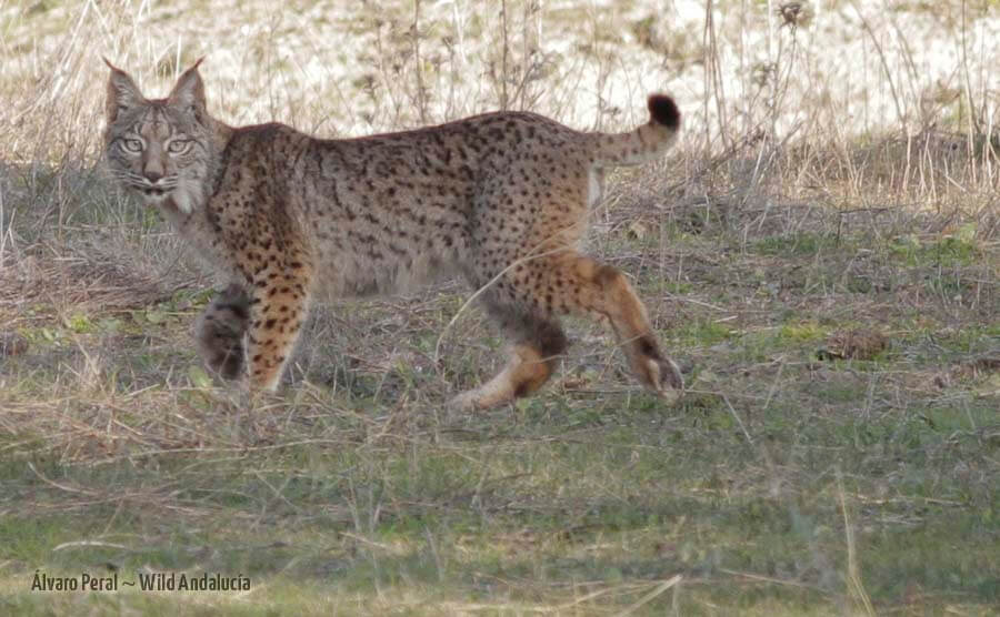 spotting an iberian lynx