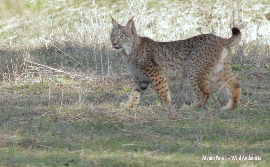 iberian lynx with wild andalucia
