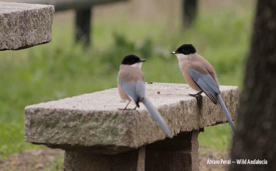 iberian magpies in Andujar