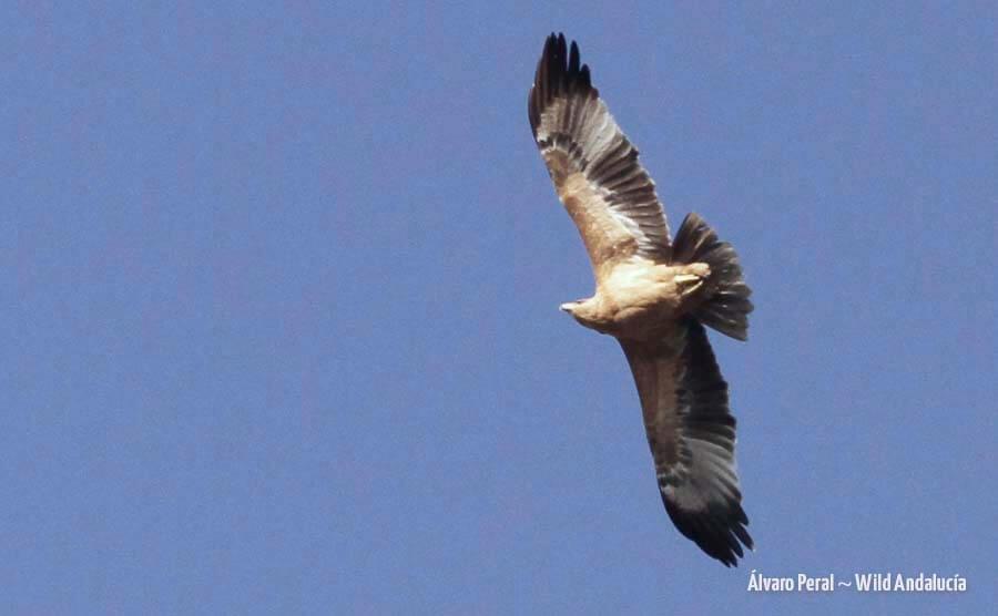 juvenile spanish eagle pajizo