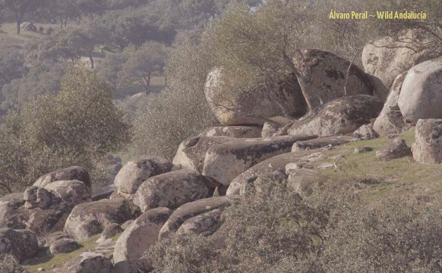 Lynx site near Andujar