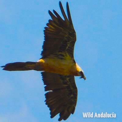 Lammergeier flying over the Pyrenees in Spain
