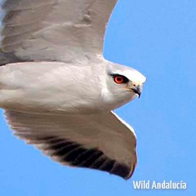 Black-shouldered Kite in Spain