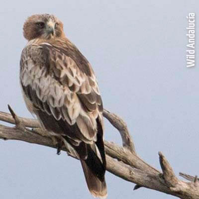 Roosting Booted Eagle