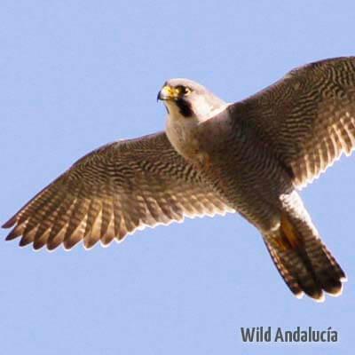 Falco peregrinus brokei
