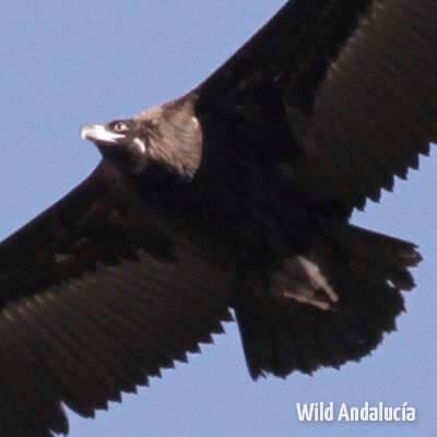 Cinereous Vulture in flight