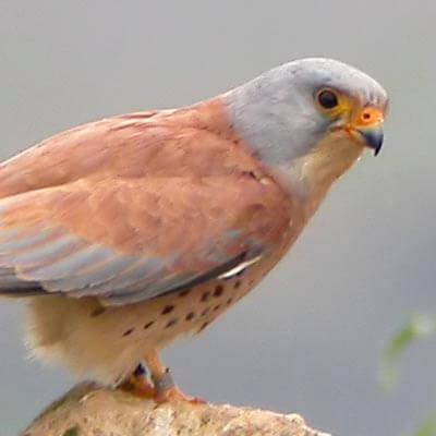 Lesser Kestrel in Spain