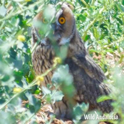 Long-eared Owl in Spain