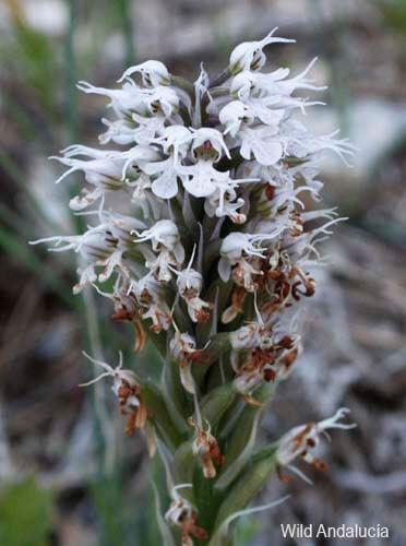 Orchis conica in the Sierra de las Nieves, Andalucía