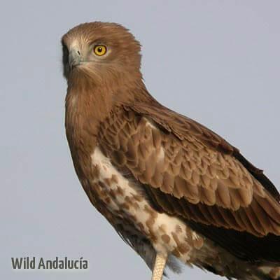 Short-toed Eagle in Spain