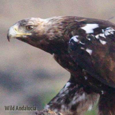 Spanish Imperial Eagle in Spain