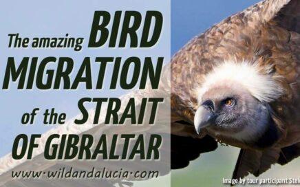 Bird migration in the Strait of Gibraltar