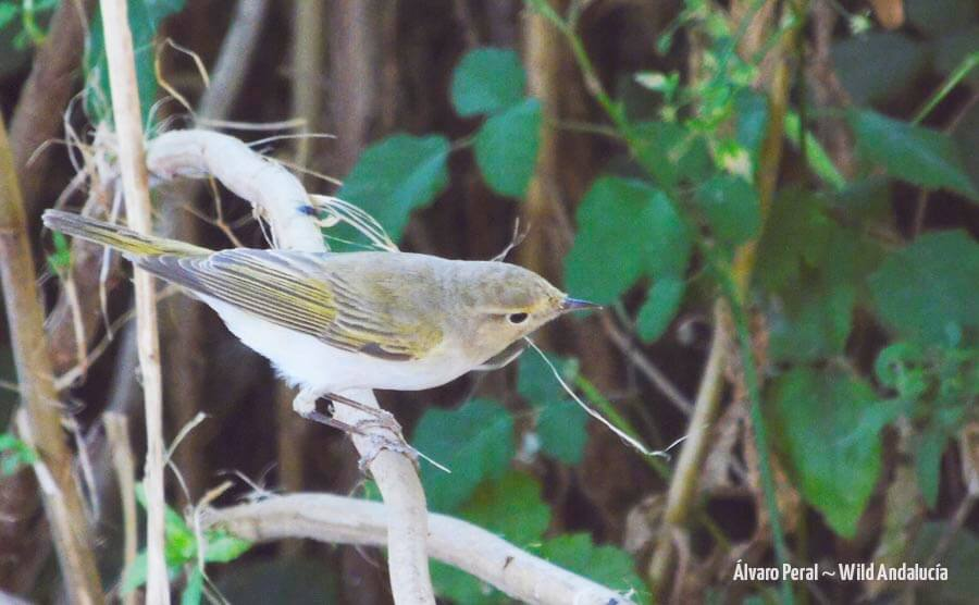 Western Bonelli's Warbler Los Alcornocales
