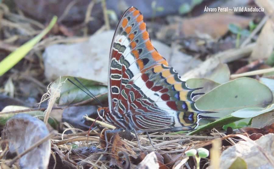 Butterflies tour Andalucia