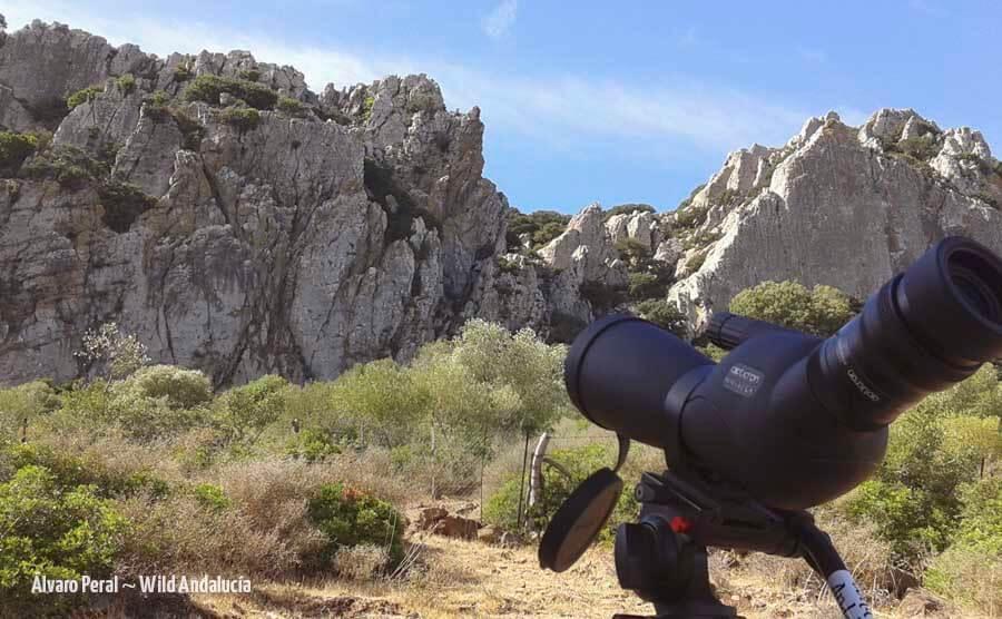 Rüppell's vulture in Sierra de la Plata