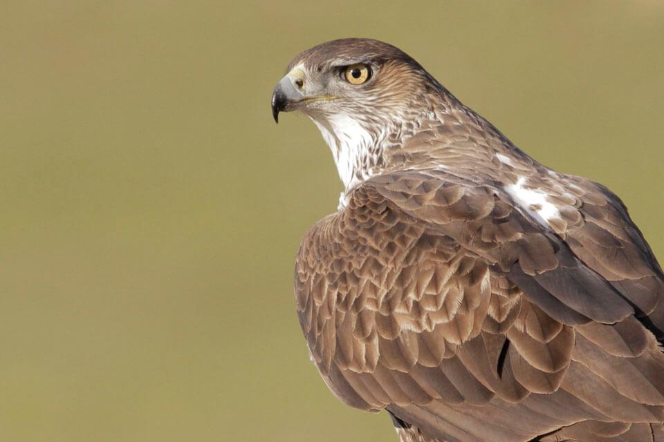Bonelli's eagle photo tour