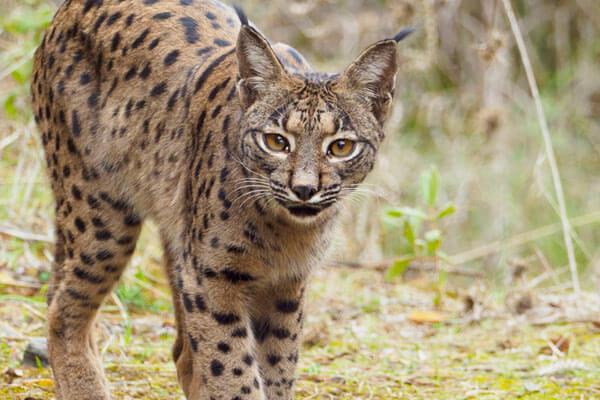 Lynx trip in Andujar