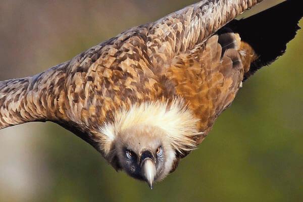 Griffon vulture in Ronda