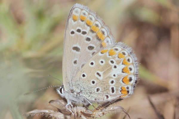 southern blue butterfly