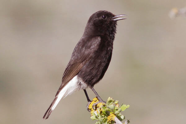 photographing black wheatear