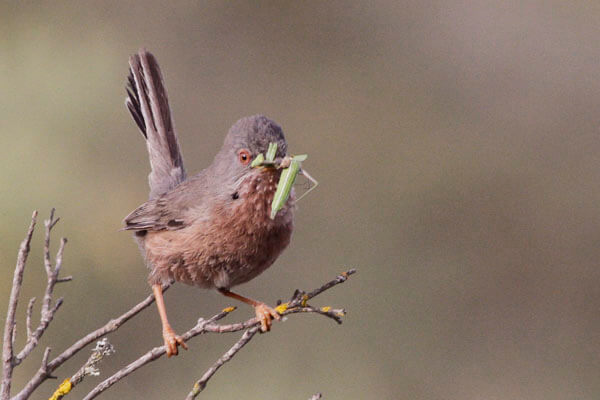 getting close to Dartford Warbler