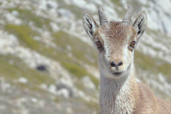 iberian ibex photographic safari