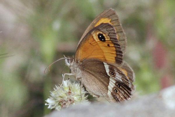 spanish gatekeeper butterfly